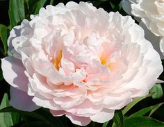 Klehm's Song Sparrow Farm and Nursery--PEONY--'Serene Pastel'