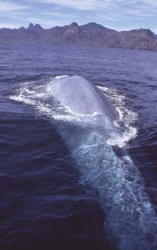 Blue whale- Think Quest What an amazing world... There are blue whales and mice...Mammals what range!