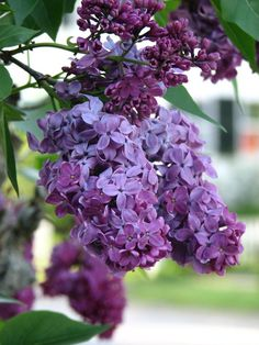 Lilac outdoors flowers garden