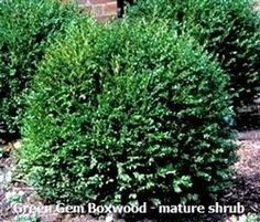 Boxwood - Green Gem. A great little hybrid Boxwood that requires very little trimming / pruning to maintain a perfect little round ball of tight, dark green foliage. Has shown to hold excellent green color through the winter with excellent hardiness as well. A slow grower that only reaches a mature size of about 2' x 2'. Makes a great choice for foreground plantings, as well as for short, low growing, formal hedge.