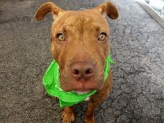 GONE 7/15/2015 --- Manhattan Center NIKLAUS – A1043057 MALE, BROWN / WHITE, AM PIT BULL TER MIX, 1 yr STRAY – STRAY WAIT, HOLD FOR COURTESY Reason STRAY Intake condition EXAM REQ Intake Date 07/07/2015