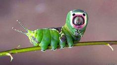 6 Weird Bugs - OmoshiroiTV