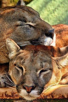 Spooning - cat style by Anthony D'Angio - Animals Lions, Tigers & Big Cats ( cats, big cats, lions, sleeping ) Nature Animals, Animals And Pets, Cute Animals, Wild Animals, Big Cats, Cats And Kittens, Cute Cats, Beautiful Cats, Animals Beautiful