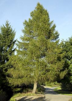 Europäische Lärche - Larix decidua günstig aus der Baumschule online kaufen