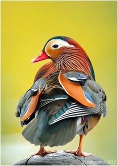 Mandarin Duck, one of the most colorful works of nature...