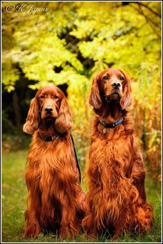 Irish Setter. K. Jarvis.Lets take our hearts for a walk in the woods and listen to the magic whispers of old trees. Simba & Rohan taken today at Dinmore woods.