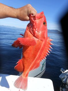 1000 images about ketchikan fishing on pinterest for Types of fish in alaska