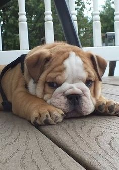 The major breeds of bulldogs are English bulldog, American bulldog, and French bulldog. The bulldog has a broad shoulder which matches with the head. Cute Bulldog Puppies, Cute Bulldogs, English Bulldog Puppies, Cute Dogs And Puppies, Baby Puppies, Baby Bulldogs, Doggies, Baby Pugs, Terrier Puppies