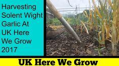 Harvesting Solent Wight Garlic At UK Here We Grow 2017