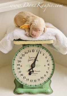 Goldendoodle Puppy. {Golden Retriever}{Pet Photography} {Lab} {Dog} {Puppies} {Photo Session Ideas} {Pet Portraits}