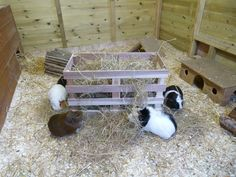 This ikea skogsta storage crate is a perfect hay rack for guinea pigs and…