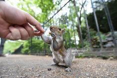 Stock Photo : Feeding a Grey squirrel from hand