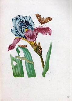 Iris Drawing, Aesthetic Revolution, Sibylla Merian, Botanical Illustration, Botanical Prints, Natural History, Amsterdam, Dutch, Third