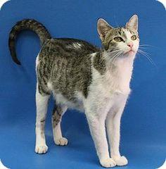 Overland Park, KS - Domestic Shorthair. Meet Serena, a cat for adoption. http://www.adoptapet.com/pet/16351681-overland-park-kansas-cat