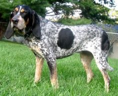 Bluetick Coonhounds are gentle and loyal, but the breed can be challenging to train. They're perfect for active households and sporting families!