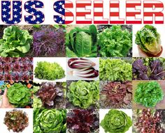 300 Organically Grown Lettuce Mix 20 Varieties Heirloom Non GMO RARE for Salad | eBay