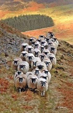 "Scottish blackface sheep, Scotland -- or ""Rush Hour"" in the Highlands. Farm Animals, Animals And Pets, Cute Animals, Wild Animals, Alpacas, Beautiful Creatures, Animals Beautiful, Sheep And Lamb, Tier Fotos"