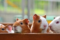 Guinea pigs. 10 Cute Exotic Pets