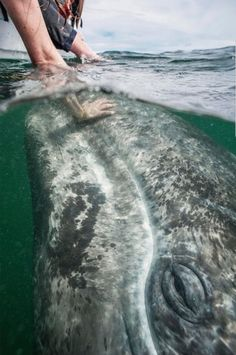 Stroking a Greg Whale