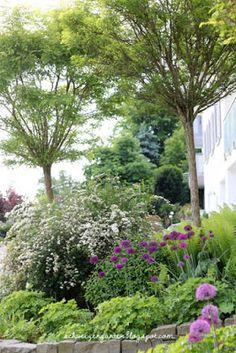 Zierlauch, Allium, violet, Garten, Bienenweide, Frühsommer, Mai, Vorgarten, gestaltung, Hanggarten, Treppe, Natursteine, Sandsteine, Kugelakazie, Hornveilchen, Akelei, Farn,