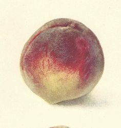 1909 Antique Peach Print Lithograph Book Plate Original by catladycollectibles on Etsy