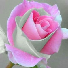 Soft colors for this delicate rose