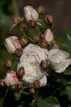 'William and Catherine' David Austin rose Beautiful Roses, Beautiful Gardens, White Flowers, Pink Roses, Beautiful Flowers, Beach Flowers, White Roses, Rose Foto, Ronsard Rose