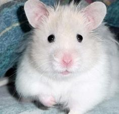 Iggy the Teddy Bear Hamster at