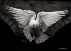 Dove by DorianStretton.deviantart.com on @deviantart