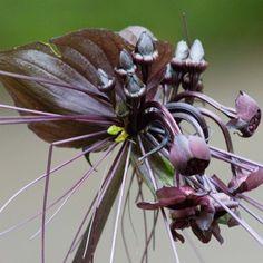 Tacca chantrieri - Fleur Chauve-souris