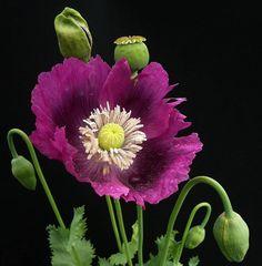 Цветы на тёмном фоне от французского фотографа Патрика Пельтье. Обсуждение на LiveInternet - Российский Сервис Онлайн-Дневников