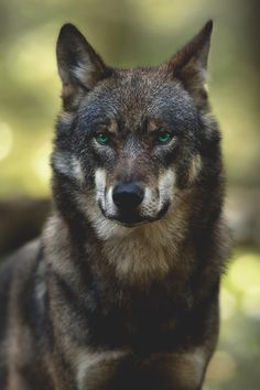 Wolf Photos, Wolf Pictures, Beautiful Wolves, Animals Beautiful, Animals And Pets, Cute Animals, Wolf World, Bark At The Moon, Wolf Husky