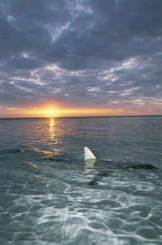 "The fin of a blacktip shark rises above the water's surface at sunset."" by National Geographic"