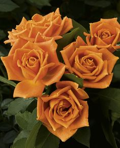 Pumpkin Patch™ Floribunda Rose - Moderately fruity fragrance,med. size bush(?),buttery caramel orange color...a fall of the year feel.Form listed as double,formal.Disease resistance?Check.Many color variations at any time on bush.