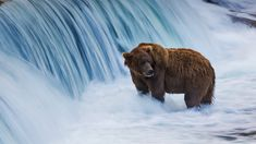 Brown bear in the Brooks River, Katmai National Park, Alaska (© littleting/Pradthana Jarusriboonchai/Getty Images) Katmai National Park, Parc National, Bing Backgrounds, Bear Species, Daily Pictures, Exotic Pets, Beautiful World, National Geographic, Animaux