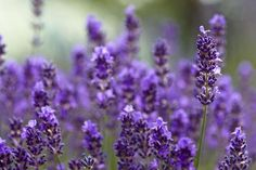 Lavender - The Herb of Love
