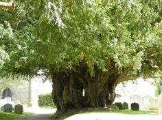 """Yew ~ The Meaning of my name <3 ~ Symbol of Resurrected Hope ~ Early Christian missionaries recognized the sacred nature of the trees and built their churches near them. ~ """"This is how the Lord wanted his church to be: universal, a great tree whose branches shelter the birds of the air"""""""