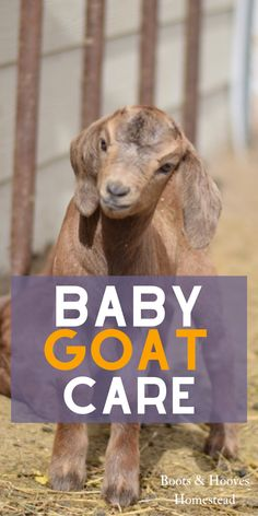 Guide to Baby Goat Care BABY GOAT CARE. Guide to raising baby goats, how to care for newborn goats, what do baby goats eat, and more kid goat tips. Raising Farm Animals, Raising Goats, Baby Massage, Duckling Care, Breeding Goats, Goat Care, Baby Ducks, Baby Care Tips, Goat Farming