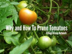 Why and How To Prune Tomatoes / http://villagegreennetwork.com/prune-tomatoes/