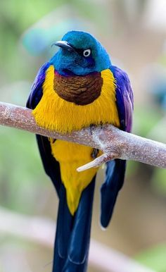 The golden-breasted starling (Lamprotornis regius)
