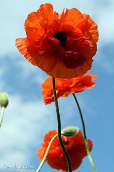 poppies flower sky nature clouds flowers pretty