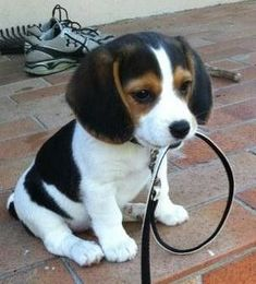 for just this moment...i want a dog. give me a few minutes and the feeling will pass, granted i don't stare at this picture. #beagle