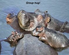 This is a gallery of adorable baby hippo pictures that will make you smile in ways never knew possible. If you know a thing or two about the hippopotamus, Cute Baby Animals, Animals And Pets, Funny Animals, Wild Animals, Cute Hippo, Green Animals, Happy Animals, Nature Animals, Mundo Animal