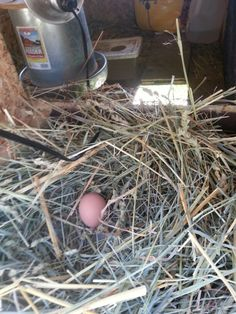 """Delivery-room News:  New Chick's First """"Training Egg""""  - - - 8/23/2014"""