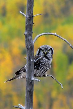 The Northern Hawk-Owl (Surnia ulula) is distributed throughout the boreal forests of the world .