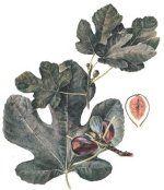 Les plantes tinctoriales et leur utilisation -