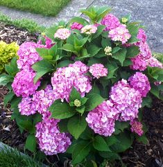Perennials, Flowers, Plants, Hydrangeas, Kitchens, Gardens, Sun, Food, Meal