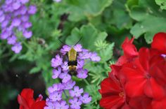 Verbena & Moth Hummingbird, through my lens