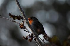 https://flic.kr/p/LiwcX7 | Robin | A Erithacus rubecula waiting for the autumn…