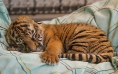 A tiger cub in a nursery at the Cincinnati zoo Zoo 2, Baby Tigers, Cute Tigers, Cute Tiger Cubs, Baby Cubs, Cute Baby Animals, Animals And Pets, Funny Animals, Wild Animals